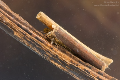 Case-building caddisfly larva (Anabolia sp.)